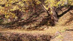 Δέντρο φθινοπώρου ακτών με τα φύλλα στο νερό απόθεμα βίντεο