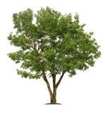 Δέντρο που απομονώνεται στο άσπρο υπόβαθρο με το ψαλίδισμα των πορειών για το σχέδιο κήπων στοκ εικόνες
