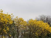 Δέντρο Campanula στα νεφελώδη dayBlooming κίτρινα χρυσά ανθίζοντας λουλούδια λουλουδιών στοκ εικόνες