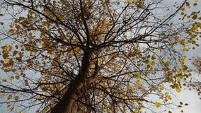 Δέντρο Linden σε ένα ήρεμο βράδυ απόθεμα βίντεο