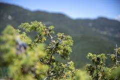 Δέσμη των μούρων ιουνιπέρων σε έναν πράσινο κλάδο το φθινόπωρο στοκ εικόνα