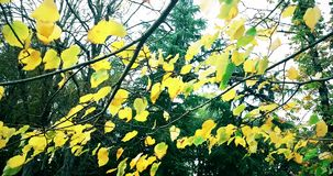 Δασικά δέντρα και ζωηρόχρωμα κίτρινα φύλλα φθινοπώρου στον ουρανό φωτός της ημέρας με τις ακτίνες φλογών ήλιων που πετούν μέσω το φιλμ μικρού μήκους