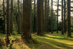 Δασικό πάρκο σκυλιών Redwoods - Rotorua, Νέα Ζηλανδία στοκ εικόνες