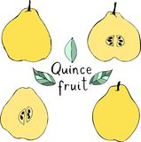 Διανυσματική απεικόνιση του κυδωνιού μήλων Συρμένα χέρι τροπικά φρούτα ελεύθερη απεικόνιση δικαιώματος