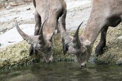 Διψασμένο πόσιμο νερό deers στοκ εικόνα με δικαίωμα ελεύθερης χρήσης