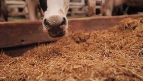 Δροσίστε την επισημασμένη αγελάδα που τρώει το δικαίωμα σανού μέσω του φράκτη της μάντρας του απόθεμα βίντεο