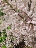 δροσίστε πολλών άσπρο λουλούδι στο δέντρο στοκ εικόνα με δικαίωμα ελεύθερης χρήσης