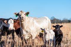 Δύο αγελάδες και δύο μόσχοι στο χειμερινό λιβάδι στοκ εικόνες