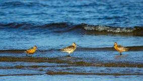 Δύο αρσενικά και οι θηλυκό με ραβδόμορφη ουρά λιμόζες ή το lapponica Limosa περπατούν στην ακτή, πορτρέτο, εκλεκτική εστίαση, ρηχ στοκ εικόνες