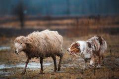 Δύο κοκκινομάλλη γραπτά πρόβατα κατά τη βοσκή σκυλιών κόλλεϊ συνόρων στη μάντρα ακατέργαστο σκυλί αθλητική πειθαρχία Έννοια Σκυλί στοκ εικόνα με δικαίωμα ελεύθερης χρήσης