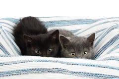 Δύο λατρευτά ενάμισι γατάκια, γκρίζος και ο Μαύρος μηνών, που κρυφοκοιτάζουν πέρα από έναν τάπητα κουρελιών Στούντιο που πυροβολε στοκ φωτογραφία με δικαίωμα ελεύθερης χρήσης