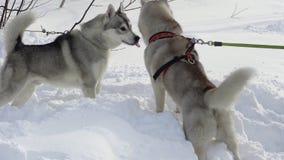 Δύο σκυλιά του γεροδεμένου παιχνιδιού φυλής πριν από το skijor που συναγωνίζεται και αγώνας σκυλιών ελκήθρων φιλμ μικρού μήκους