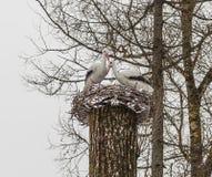 Δύο πελαργοί σε μια φωλιά σε ένα δέντρο γλυπτό στοκ φωτογραφία