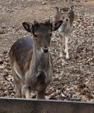 Δύο deers αγραναπαύσεων στοκ εικόνες με δικαίωμα ελεύθερης χρήσης