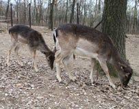 Δύο deers αγραναπαύσεων στοκ φωτογραφίες με δικαίωμα ελεύθερης χρήσης