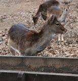 Δύο deers αγραναπαύσεων στοκ φωτογραφία