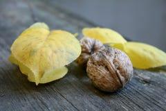 Δύο juicy ώριμα φρέσκα καφετιά ξύλα καρυδιάς βρίσκονται στο υπόβαθρο των κίτρινων φύλλων στοκ φωτογραφία