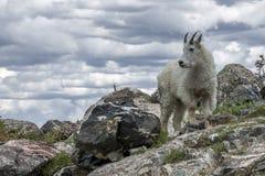 Δύσκολη τοποθέτηση αιγών βουνών στοκ εικόνες με δικαίωμα ελεύθερης χρήσης