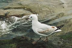 Île Birdy de chèvre Photographie stock libre de droits