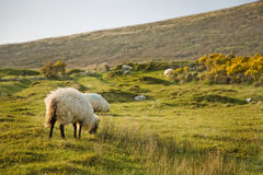 Île d'Achill, moutons Photographie stock