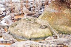 Île de plan rapproché dans des essaims d'étang avec de petits crocodiles Image stock