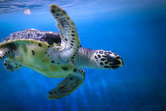 Île de Singapour Sentosa d'aquarium d'océan de tortilla Photos stock