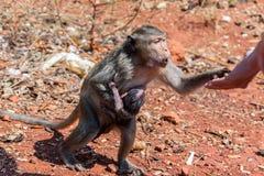 Île de singe Image libre de droits