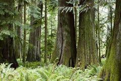 Île de Vancouver provinciale de verger de cathédrale de parc de MacMillan Photographie stock