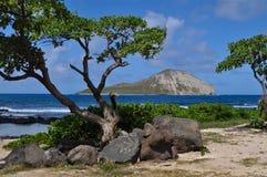 Île Oahu de lapin Images libres de droits