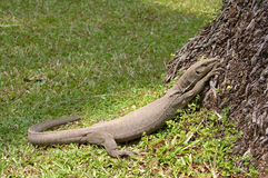 Île Sri Lanka (Ceylan), le grand moniteur gris Image stock