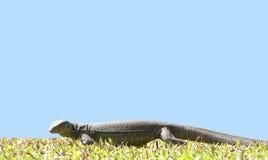 Île Sri Lanka (Ceylan), le grand moniteur gris Images libres de droits