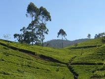 Île Sri Lanka (Ceylan), plantation de thé Image stock
