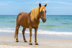 Île Wildhorses d'Assateague Photographie stock libre de droits