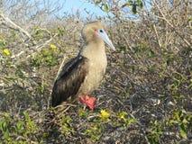 Îles de Galapgos Photo stock