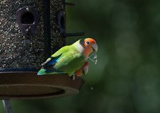 Ροδάκινο αντιμέτωπο lovebird κατανάλωση του σπόρου σε έναν τροφοδότη στοκ εικόνες με δικαίωμα ελεύθερης χρήσης