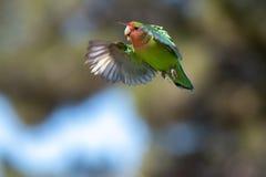 Ροδάκινο που αντιμετωπίζεται lovebird σε στα μέσα τουπτήση στοκ εικόνα