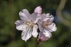 Ρόδινα άνθη λουλουδιών Sakura στοκ εικόνες
