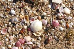 Ρόδινα και άσπρα κοχύλια στο χρυσό υπόβαθρο παραλιών άμμου στοκ φωτογραφία με δικαίωμα ελεύθερης χρήσης