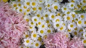 Ρόδινα και άσπρα λουλούδια μαργαριτών απόθεμα βίντεο