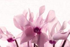 Ρόδινα λεπτά πέταλα του λουλουδιού άνοιξη με την επίδραση ελαιοχρωμάτων στοκ εικόνα