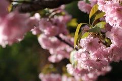 Ρόδινα λουλούδια του ιαπωνικού δέντρου κερασιών στοκ φωτογραφίες