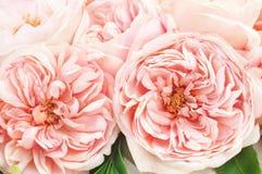 Ρόδινα τριαντάφυλλα, λουλούδια backgound στοκ εικόνες