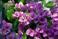 Ρόδινη ιώδης άνθηση λουλουδιών Bougainvillea στοκ φωτογραφίες με δικαίωμα ελεύθερης χρήσης