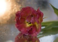 ρόδινο υπόβαθρο κινηματογραφήσεων σε πρώτο πλάνο τουλιπών λουλουδιών bokeh στοκ φωτογραφίες