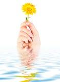 �alendula flower in hand stock photo