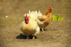 �ock and hen Stock Photo