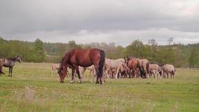 Όμορφα όμορφα άλογα που βόσκουν στο λιβάδι Αγρόκτημα αλόγων απόθεμα βίντεο