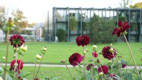 Όμορφα κόκκινα λουλούδια της ZINNIA απόθεμα βίντεο