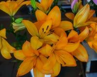 Όμορφα τρυφερά πορτοκαλιά λουλούδια κρίνων, ασυνήθιστες μορφές που αυξάνονται στον κήπο στοκ εικόνες