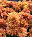 Όμορφα πορτοκαλιά λουλούδια των χρυσάνθεμων στοκ εικόνες